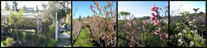 Bonita Creek Nursery Rare Fruit Trees In San Diego Los